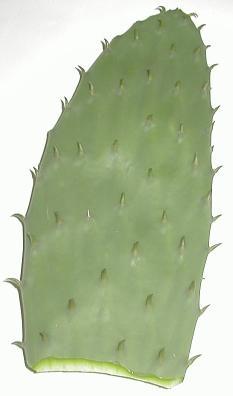����� ������� cactus.jpg